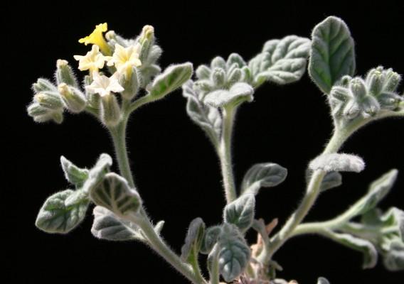 Heliotropium arbainense Fresen.