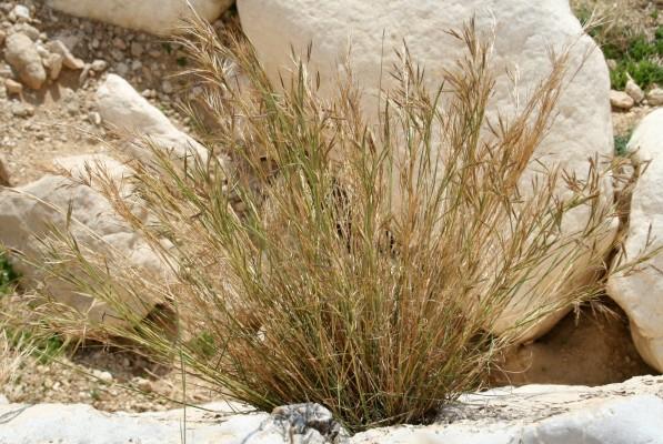 זקנן שעיר Hyparrhenia hirta (L.) Stapf