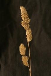 צמח רב-שנתי אשון הגדל בצברים. התפרחת מכבד דמוי שיבולת, חד-צדדי וצפוף; ענפי התפרחת מהודקים אל הציר אך מפושקים בעת הפריחה.