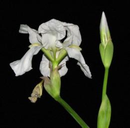 עמוד הפרחים מסועף ונושא פרחים אחדים. צבע הפרחים לבן. שתול בבתי קברות מוסלמיים.