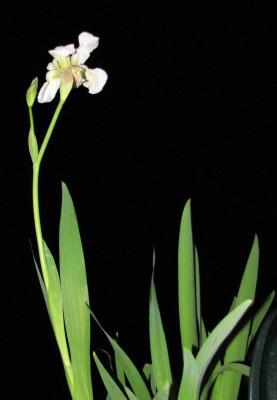 אירוס לבנבן Iris albicans Lange