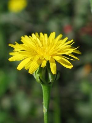 תמריר בינוני Reichardia intermedia (Sch.Bip.) Cutinho