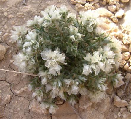 אלמוות סיני Paronychia sinaica Fresen.