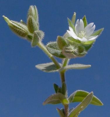 קרנונית דו-בדית Cerastium dichotomum L.