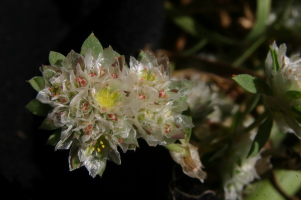 Paronychia argentea Lam.