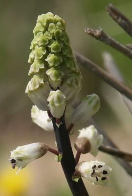 זמזומית מצויה Bellevalia flexuosa Boiss.