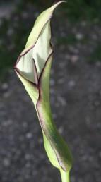 קוטר צינור המתחל (עלה צבעוני העוטף את הפרחים) אינו עולה על 2 ס