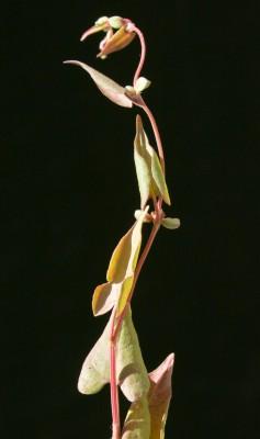 פלופיה חבלבלית Fallopia convolvulus (L.) A.Love