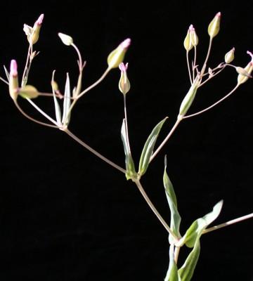 סבונית השדות Vaccaria hispanica (Mill.) Rauschert