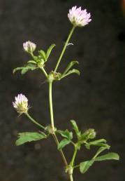 צמחים קירחים וזקופים. הפרחים ורודים-מלבינים, מדיפים ריח טוב.