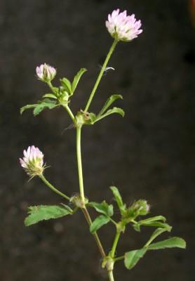 תלתן בלוטי Trifolium glanduliferum Boiss.