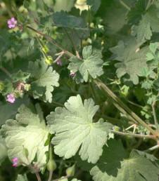 העלים שסועים עד 2/3-1/2 מאורך הרדיוס.