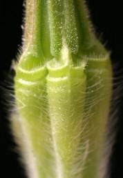 הגומה שבראש הפרודה עטורה ריסים וקרקעיתה חלקה, מלווה מתחת ב-2-1 חריצים.