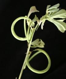 התרמיל דמוי טבעת או חצי טבעת, בעל עורקים בולטים לרוחבו.