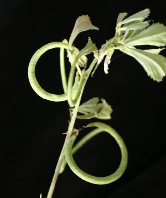 גרגרנית הטבעת Trigonella spinosa L