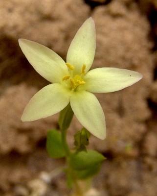 ערבז החוף Centaurium maritimum (L.) Fritsch