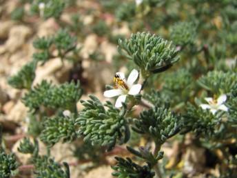 העלים דמויי סרגל, ראשם מעוגל, שפתם שעירה או ריסנית, מופשלת לאחור.