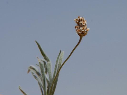 Plantago ovata Forssk.
