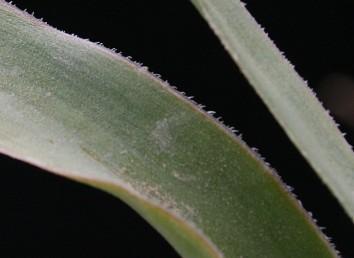 צמחי ערבות, גדלים בעיקר על קרקעות לס. העלים שרועים על הקרקע, ריסניים.