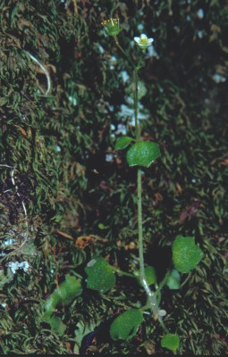 בקעצור החורש Saxifraga hederacea L.