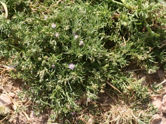 אפזרית אדומה Spergularia rubra (L.) J. & C.Presl