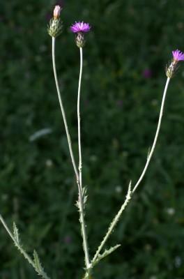 קרדה מכסיפה Carduus argentatus L.