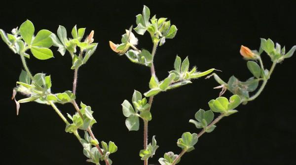 ארבע-כנפות צהובות Tetragonolobus requienii (Mauri ex Sanguinetti) Sanguinetti