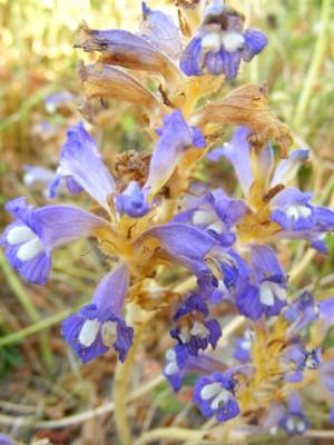 עלקת מצרית Orobanche aegyptiaca Pers.