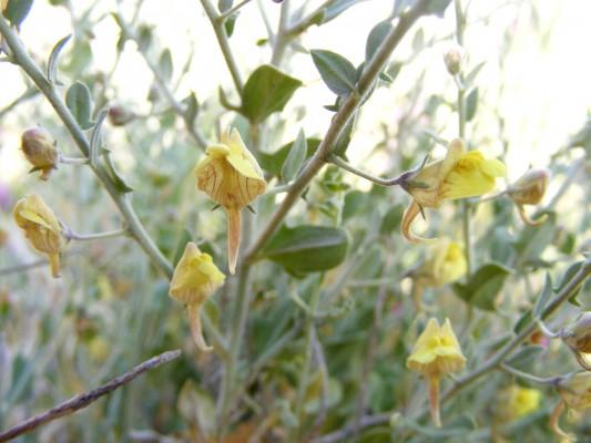 עפעפית מצרית Kickxia aegyptiaca (L.) Nabelek
