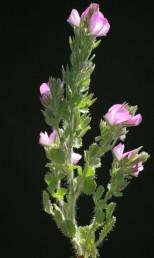 הפרחים נישאים על עוקץ קצר. צמחים של קרקעות כבדות.