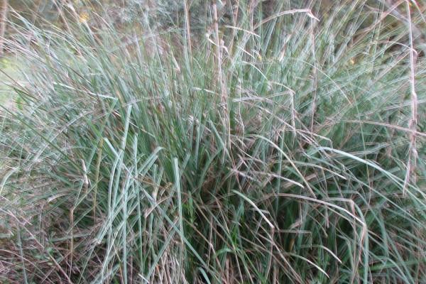 Carex hispida Willd.