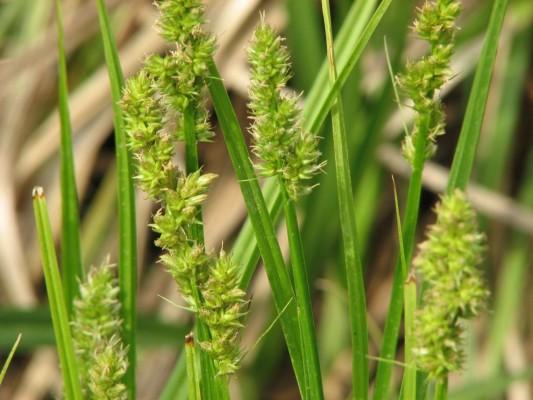 Carex otrubae Podp.
