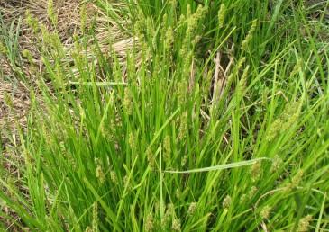 צמחי ביצות וקרקעות כבדות לאורך הערוצים.