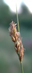 צמחים של קרקעות לחות בחבל הים-תיכוני. אורך התפרחת 3-1 ס