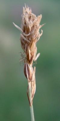 Carex divisa Huds.