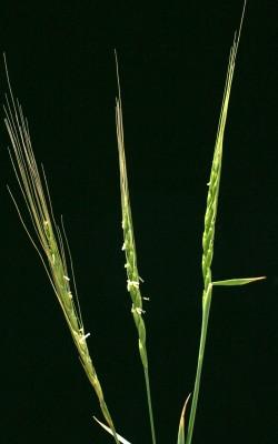 Aegilops bicornis (Forssk.) Jaub. & Spach
