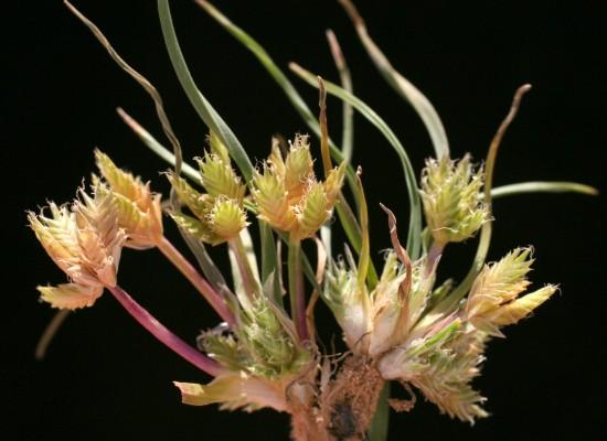 Ammochloa palaestina Boiss.