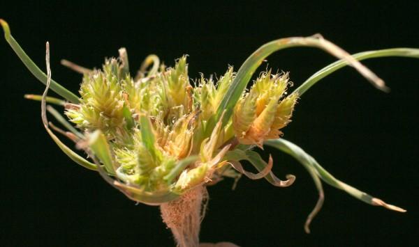 בת-חול ארץ-ישראלית Ammochloa palaestina Boiss.