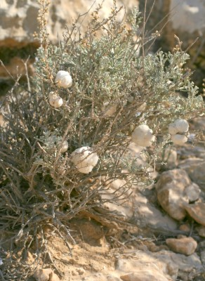 Artemisia sieberi Besser