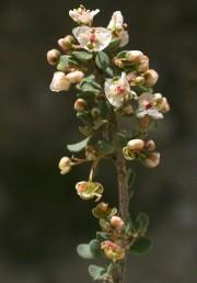 עלי-עטיף לבנים מתפתחים לאחר הפריחה לכנפיים המסייעות להפצת הפרי החד-זרעי.