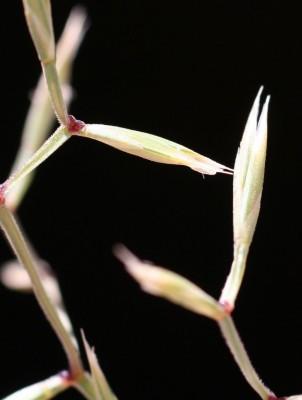 חולית מצרית Cutandia memphitica (Spreng.) K.Richt.