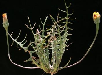 גבעולי הפריחה יוצאים בקשתיות, בראש כל אחד קרקפת יחידית.