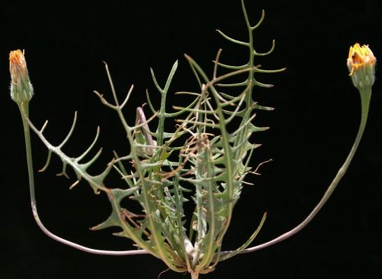 שן-ארי שעירה Leontodon laciniatus (Bertol.) Widder