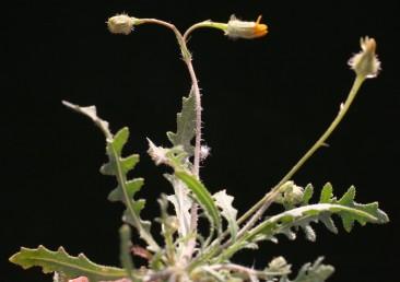 עלי הבסיס מחולקים-מנוצים או גזורים-מנוצים לאונות מוארכות וקהות. גובה הצמח 30-10 ס