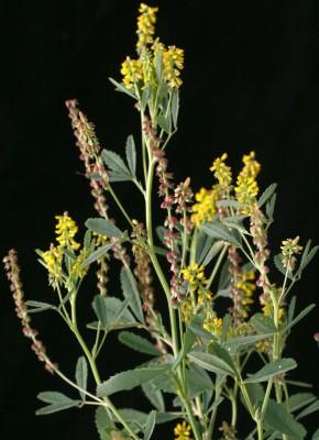 דבשה הודית Melilotus indicus (L.) All.