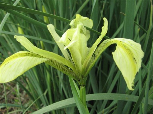 Iris grant-duffii Baker