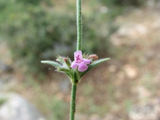 זוטה צפופה Micromeria myrtifolia Boiss. & Hohen.