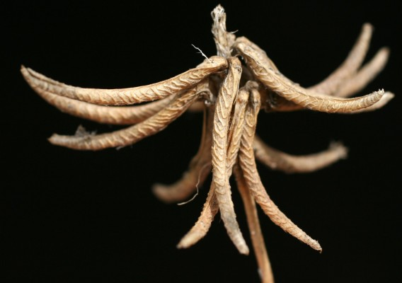 גרגרנית מצויה Medicago monspeliaca (L.) Trautv.