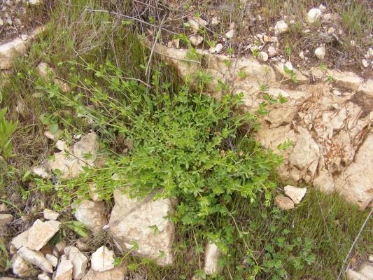 חספסנית הלבנון Asperula libanotica Boiss.