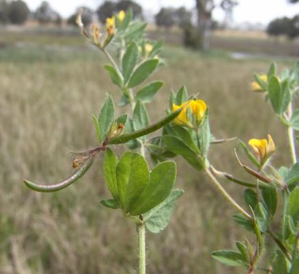 לוטוס ריסני Lotus conimbricensis Brot.